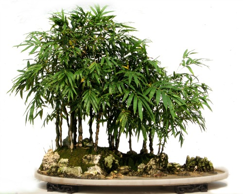 Bamboo Bonsai - an extremely popular beautiful plant