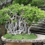Banyan Bonsai - One of the most popular forms of bonsai tree