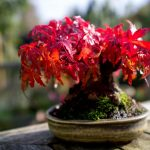 letting your Japanese maple mature