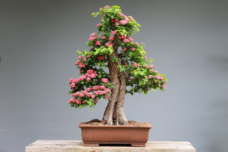 bonsai tree care indoors