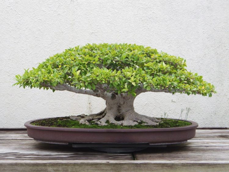 gardenia bonsai tree care